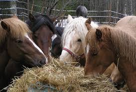 Hest spiser